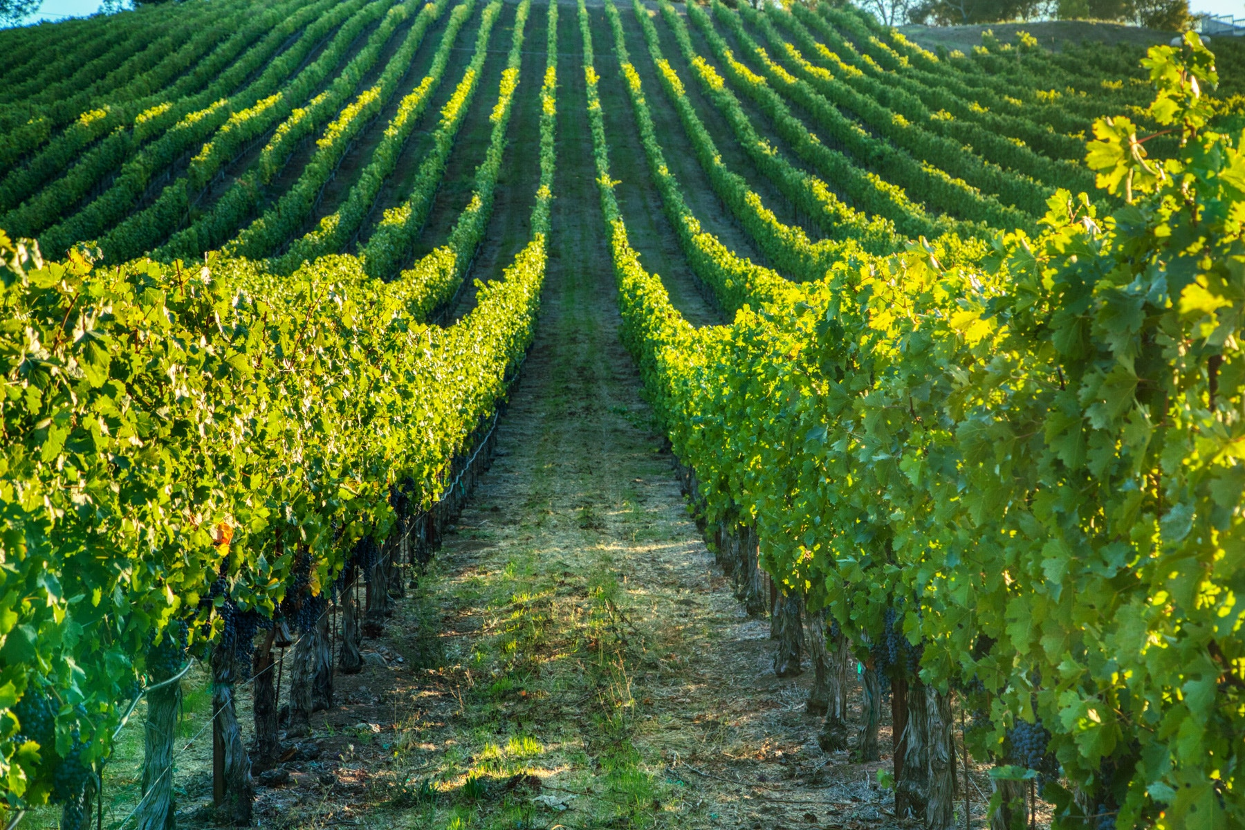 Lamoreaux Vineyard