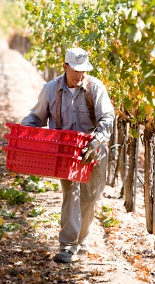 Harvesting HALL Wine