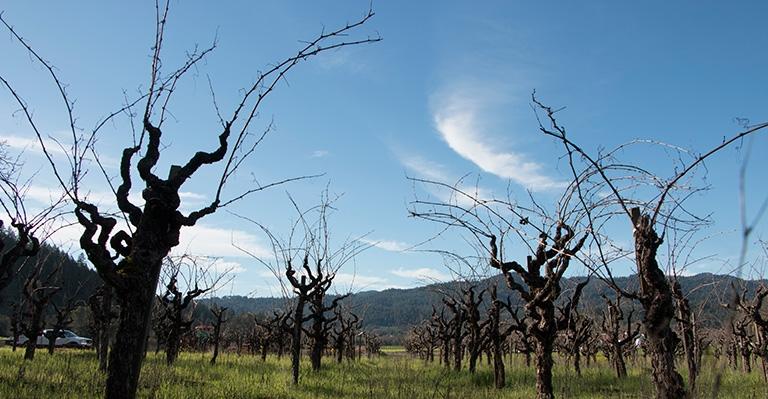 Cook Vineyard - Skyward View