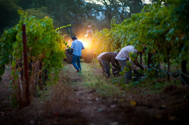 HALL Vineyard Harvest